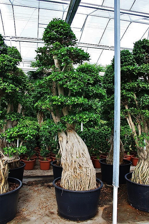 ficus microcarpa bonsai mega trees