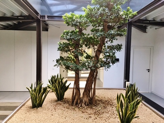 Ficus microcarpa In the ground - business