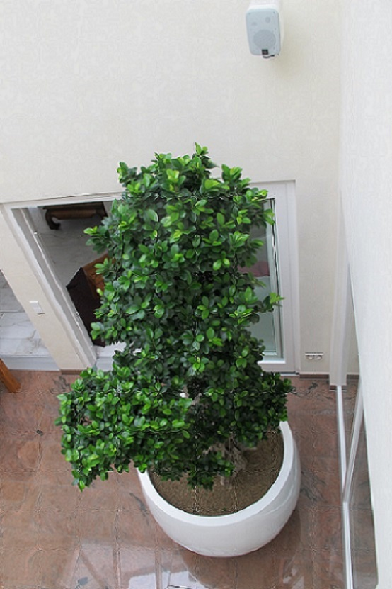 Ficus microcarpa in planter from above