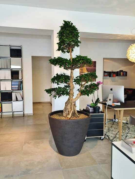 Ficus  Microcarpa in office