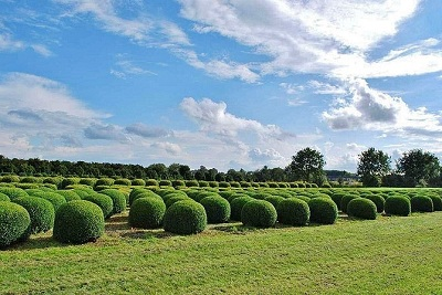Buxus sempervirens bowl