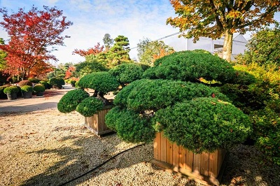 Juniperus chinensis buy