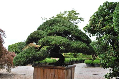 Juniperus garden bonsai buy