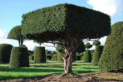 Taxus Yex tree square form