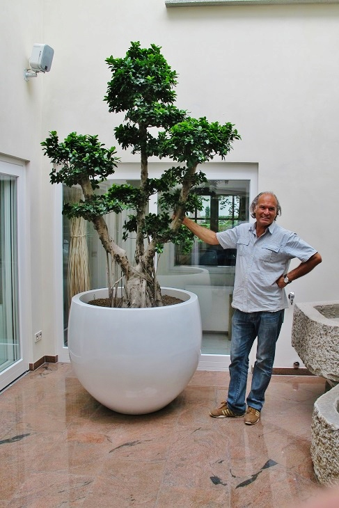 Ficus microcarpa bonsai in the private atrium buy online
