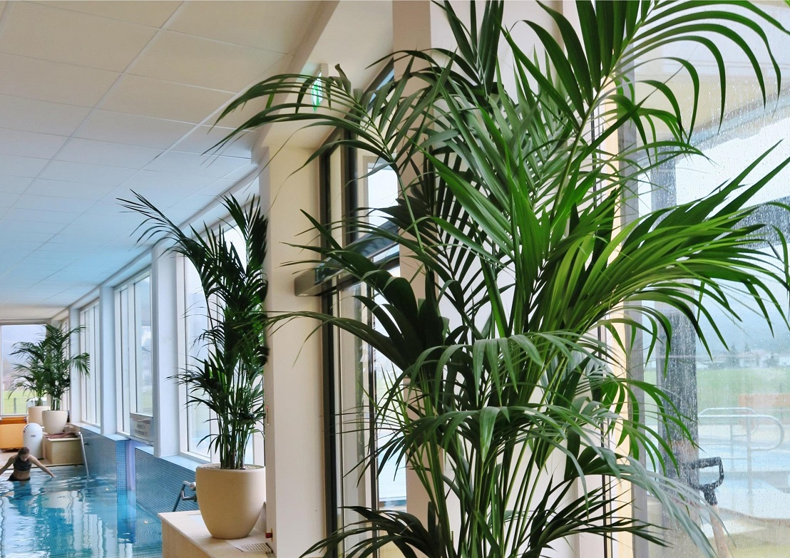 Kentia Palm also called Howea or Howeia, is well suited in the pool area - graceful and elegant!