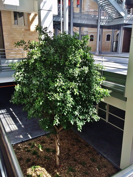 ficus nitida tree in university lyon france buy online