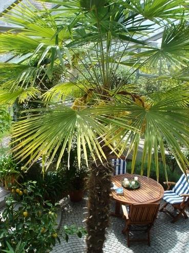 palmen kaufen online palmenshop tropisch mediterran exotisch 2 12m. Black Bedroom Furniture Sets. Home Design Ideas