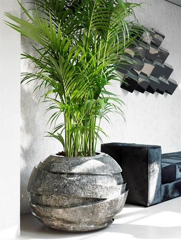 areca palme in planter buy