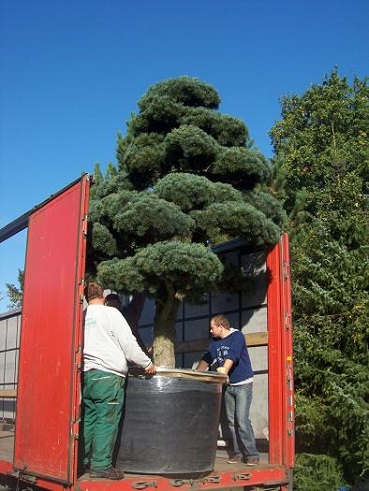 pinus bonsai transport entladung botanic international