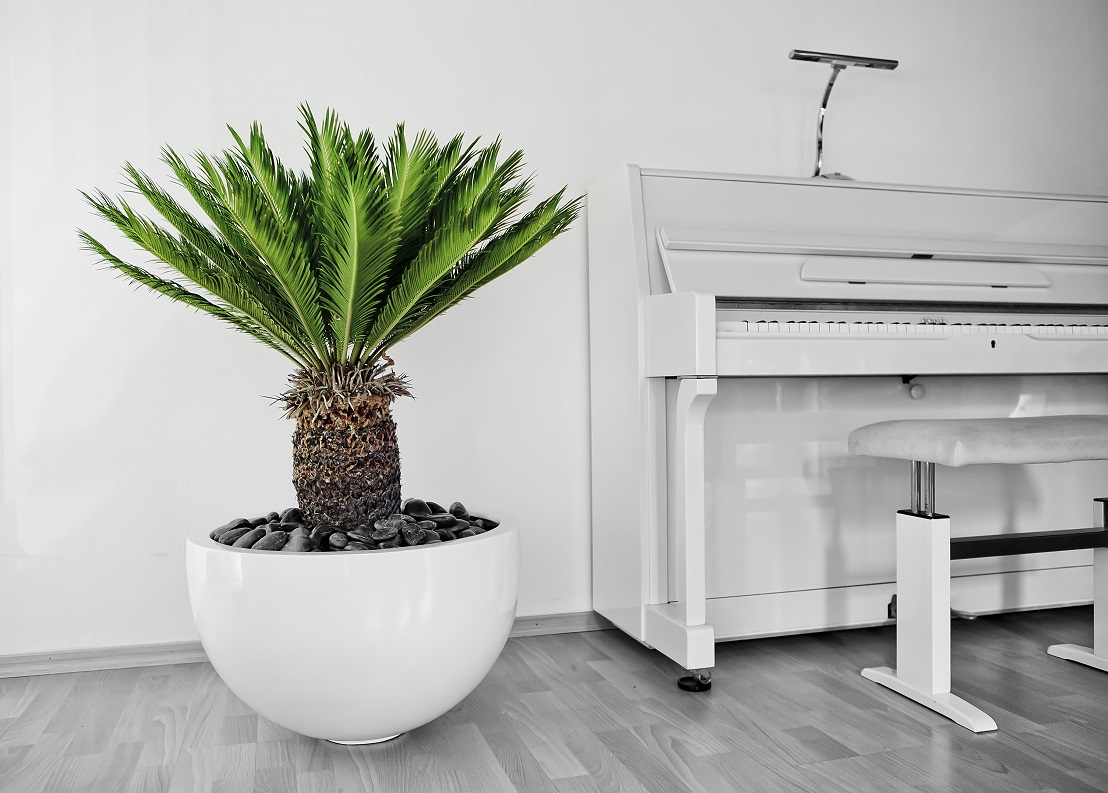 Cycas revoluta Palm Fern on Piano - Plant with planter ready to buy