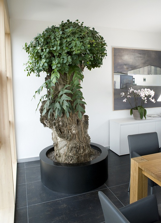 Ficus pandurata in the conference room buy online