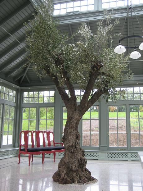 Olea europaea - Olive tree in orangery planting in ground - buy online