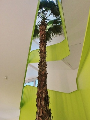 Washingtonia palm petticoat palm in stairway
