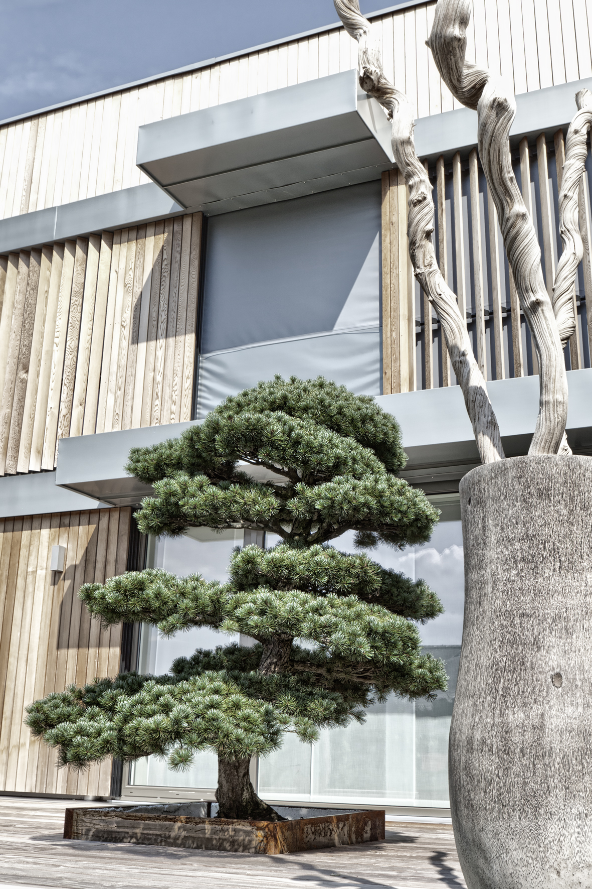 Pinus garden bonsai on an atrium terrace in Bern - Switzerland - buy online