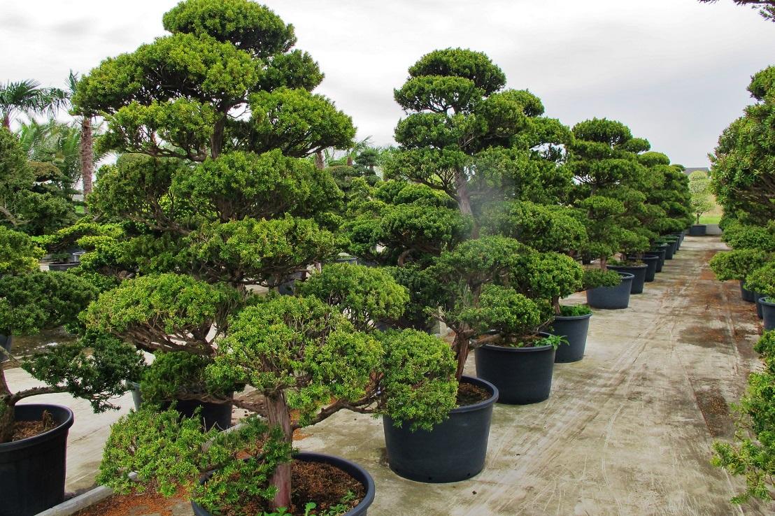 gartenbonsai ilex taxus pinus wacholder aus japan bonsai. Black Bedroom Furniture Sets. Home Design Ideas