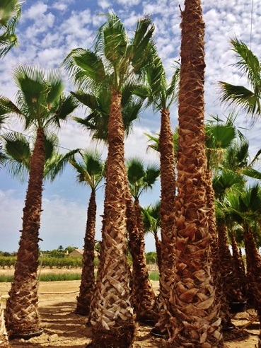 washingtonia palmen mallorca kaufen gross